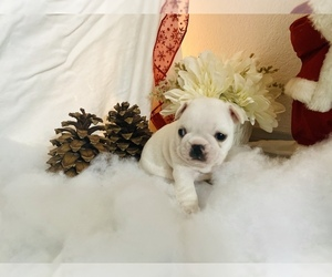 French Bulldog Litter for sale in HI VISTA, CA, USA