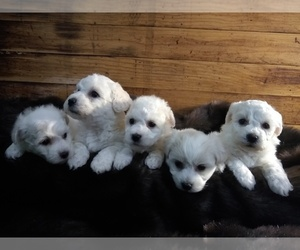 Bichon Frise Litter for sale in TORONTO, OH, USA