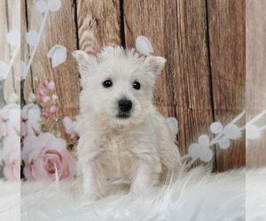 West Highland White Terrier Litter for sale in WARSAW, IN, USA