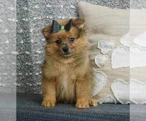 Pomeranian Litter for sale in WARSAW, IN, USA