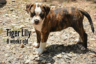 Alapaha Blue Blood Bulldog Puppy For Sale in CLEVELAND, GA, USA