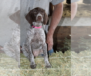 German Shorthaired Pointer Litter for sale in SANGER, CA, USA