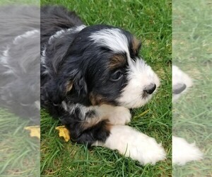 Bernese Mountain Dog-Poodle (Toy) Mix Litter for sale in BELLVILLE, OH, USA