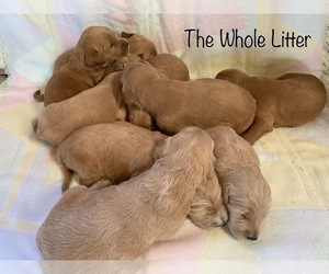 Goldendoodle Litter for sale in NEW HAVEN, IN, USA