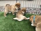 Shiba Inu Puppy For Sale in CASA GRANDE, AZ, USA