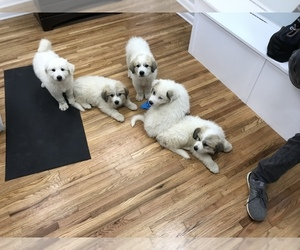 Great Pyrenees Litter for sale in CHRISTIANA, TN, USA