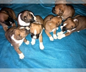 Boxer Litter for sale in SHELL KNOB, MO, USA