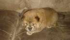 Chow Chow Puppy For Sale in MIMS, FL, USA