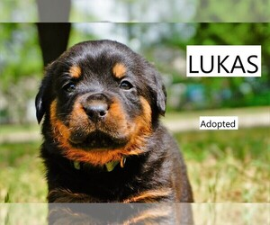 Rottweiler Litter for sale in DENTON, TX, USA
