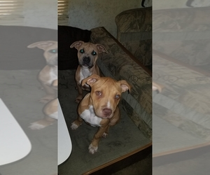 American Pit Bull Terrier Litter for sale in HAUSER, ID, USA