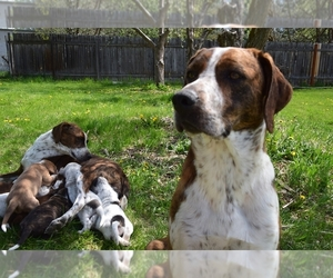 Australian Cattle Dog-Treeing Walker Coonhound Mix Litter for sale in LOGAN, UT, USA