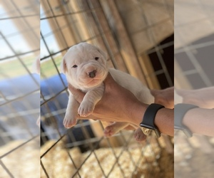 Dogo Argentino Litter for sale in CLOVIS, NM, USA
