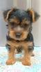 Yorkshire Terrier Puppy For Sale in HEMET, CA, USA