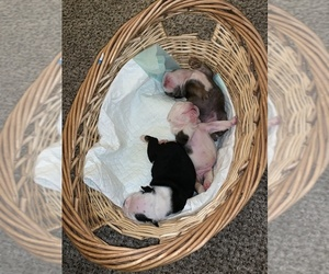 English Bulldogge Litter for sale in GILBERT, AZ, USA