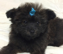 Pom-A-Poo Puppy For Sale in MIDDLETOWN, MD, USA