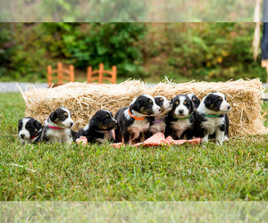 Australian Shepherd Litter for sale in MARYVILLE, TN, USA