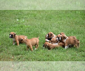 Boxer Litter for sale in YORK, SC, USA