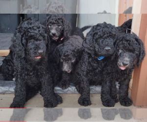 Goldendoodle Litter for sale in WHITEWOOD, SD, USA