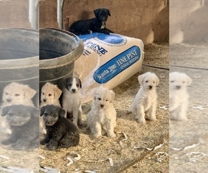Border Terrier-Poodle (Miniature) Mix Litter for sale in CHARTER OAK, CA, USA