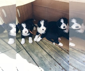 View Ad Bernedoodle Litter Of Puppies For Sale Near