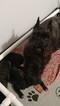 Schnauzer (Miniature) Puppy For Sale in BRADENTON, FL, USA