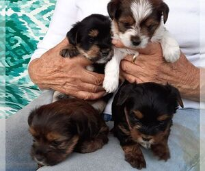 Yorkshire Terrier Litter for sale in GREEN VALLEY, AZ, USA