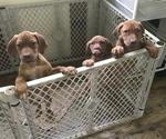 Rhodesian Ridgeback Puppy For Sale in ELGIN, TX, USA