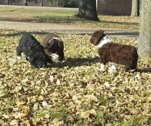 Aussiedoodle Litter for sale in LOHRVILLE, IA, USA