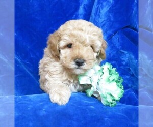 Poodle (Miniature) Litter for sale in NORWOOD, MO, USA