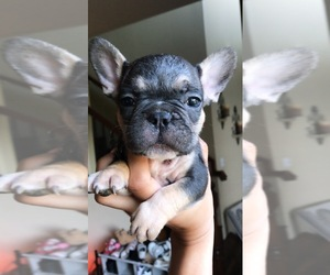 French Bulldog Litter for sale in ELK GROVE, CA, USA