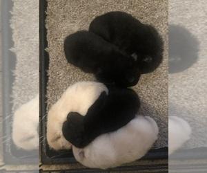 Pomeranian Litter for sale in MONTEREY, CA, USA