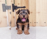 Yorkshire Terrier Puppy For Sale in BALTIC, OH, USA