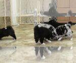 Huskimo Puppy For Sale in SEBRING, FL, USA