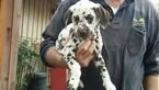 Dalmatian Puppy For Sale in CENTRE, AL, USA