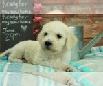 Goldendoodle Puppy For Sale in KARLSTAD, MN, USA