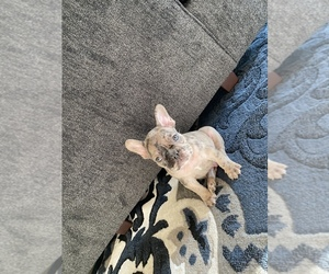French Bulldog Litter for sale in MONTCLAIR, CA, USA