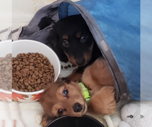 Dachshund Litter for sale in ADEL, IA, USA