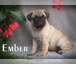 Puggle Litter for sale in ELVERSON, PA, USA