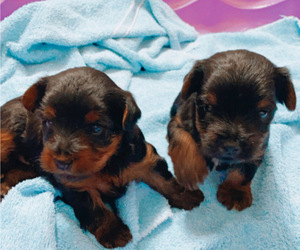 Yorkshire Terrier Litter for sale in CLEVELAND, TN, USA