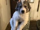 Great Pyrenees Puppy For Sale near 24599, Wingina, VA, USA