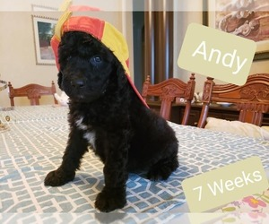 Goldendoodle Litter for sale in WEST PALM BEACH, FL, USA