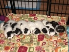 Havanese Puppy For Sale in TEANECK, NJ, USA