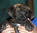 Great Dane Puppy For Sale in YELM, WA, USA