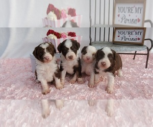 Aussie-Poo-Aussiedoodle Mix Litter for sale in COLLEGE STA, TX, USA