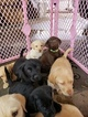 Labrador Retriever Puppy For Sale in NORTH LA JUNTA, CO, USA