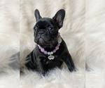 French Bulldog Puppy For Sale in DELTA, CO, USA