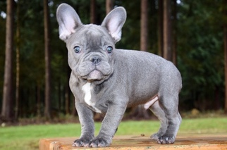 French Bulldog Puppy For Sale in MARYSVILLE, WA, USA