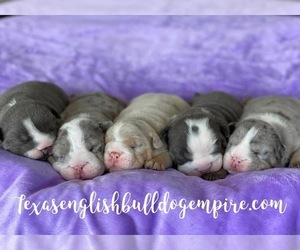 Bulldog Litter for sale in CYPRESS, TX, USA
