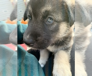 German Shepherd Dog-Siberian Husky Mix Litter for sale in BRIDGETON, NJ, USA