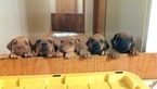 Rhodesian Ridgeback Puppy For Sale in GATE, WA, USA